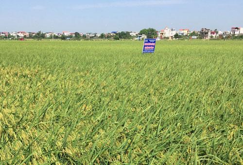 Mô hình trồng lúa hữu cơ ở xã Đồng Phú, huyện Chương Mỹ - Hà Nội (14/10/2019)