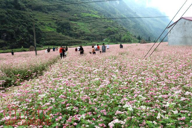 Hà Giang với mùa hoa Tam Giác Mạch (4/10/2019)