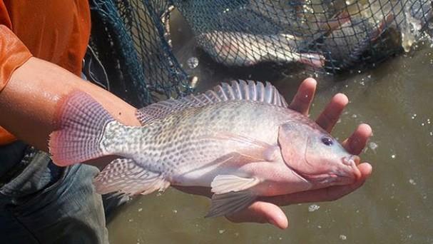 Giải pháp phòng trị bệnh cho cá nước ngọt trước sự thay đổi về thời tiết (19/11/2019)