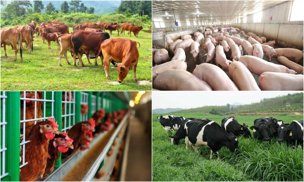 Đa dạng chăn nuôi để giảm áp lực cho ngành chăn nuôi lợn dịp cuối năm (12/11/2019)