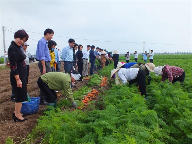 Liên kết sản xuất và tiêu thụ sản phẩm cây vụ đông vùng Đồng bằng sông Hồng (7/12/2019)