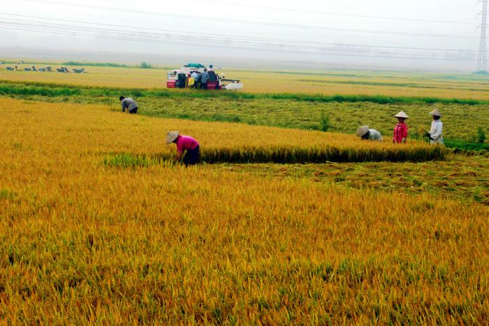Phát triển lúa gạo chất lượng, đặc sản miền núi phía Bắc (2/12/2019)