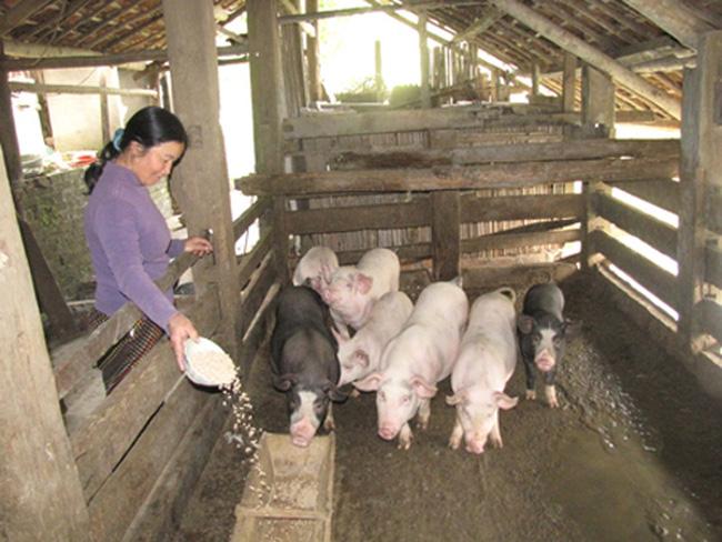 Bài 2: Chăn nuôi nhỏ lẻ - vì sao không hiệu quả? trong loạt bài