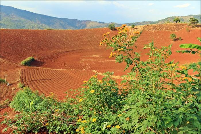 """Nghịch lý nhà nông mang nợ trên đất màu mỡ - Phần đầu của loạt bài viết: """"Bài toán sử dụng hiệu quả diện tích đất đỏ bazan khổng lồ ở Tây Nguyên"""" (10/12/2019)"""
