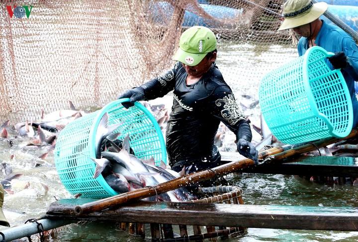 Nghề nuôi cá tra ở Đồng bằng sông Cửu Long đối mặt với nguy cơ khủng hoảng (9/12/2019)