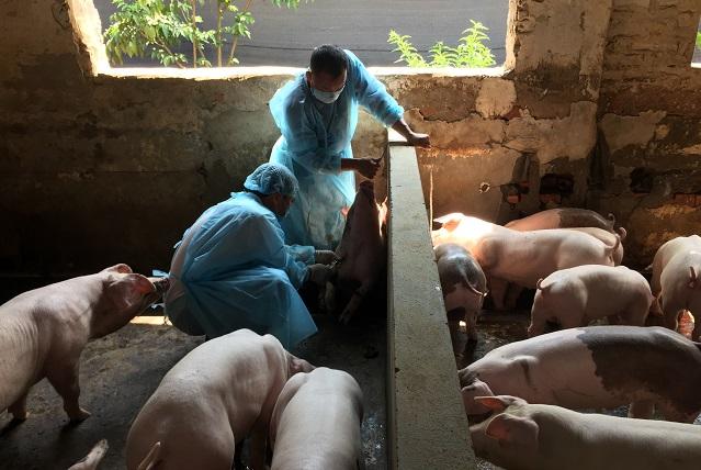 Bộ Nông nghiệp và Phát triển nông khuyến cáo các địa phương thực hiện Kịch bản ứng phó với dịch tả lợn châu Phi đã được xây dựng trước đó (Thời sự sáng 20/2/2019)