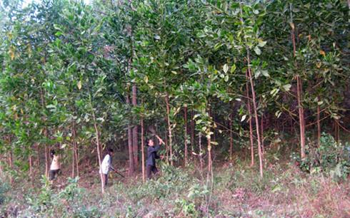Đầu tư trồng rừng, tạo sức bật cho lâm sản Việt (23/2/2019)