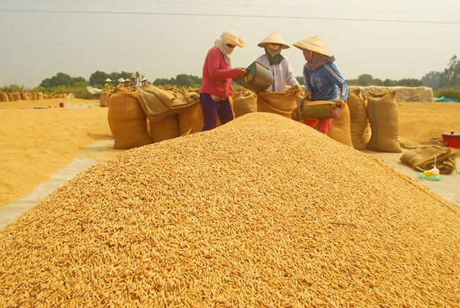 Giá lúa tại Đồng bằng sông Cửu Long lại rơi vào điệp khúc chờ