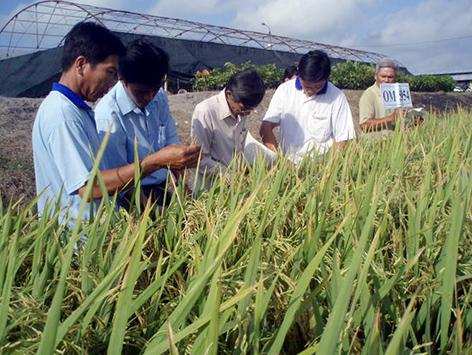 Đồng bằng sông Cửu Long: Cần tập trung nghiên cứu giống lúa thích ứng với hạn mặn (13/3/2019)