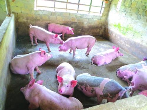 Tổ chức Nông lương của Liên hợp quốc và Tổ chức Thú ý thế giới cam kết, sẽ hỗ trợ Việt Nam 500 nghìn đô la Mỹ để ngăn chặn dịch tả lợn châu Phi (Thời sự đêm 6/3/2019)