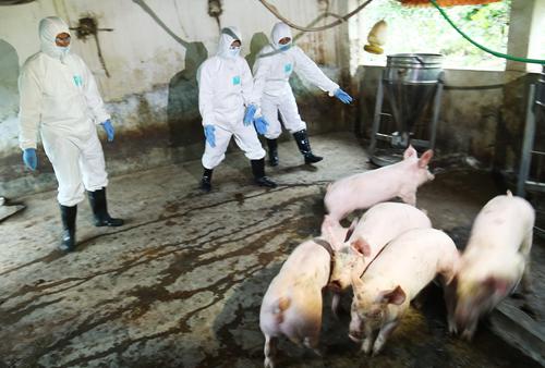 18 tỉnh thành phố đã xuất hiện dịch tả lợn Châu Phi, trong khi đó bệnh lở mồm long móng cũng có nhiều diễn biến phức tạp (Thời sự trưa 17/3/2019)