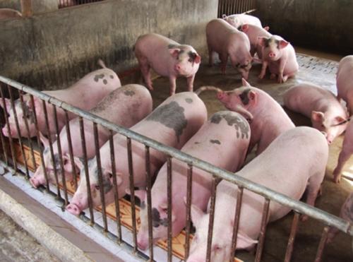 Người đứng đầu địa phương phải chịu trách nhiệm khi để xảy dịch bệnh tả lợn Châu Phi (Thời sự sáng 16/3/2019)
