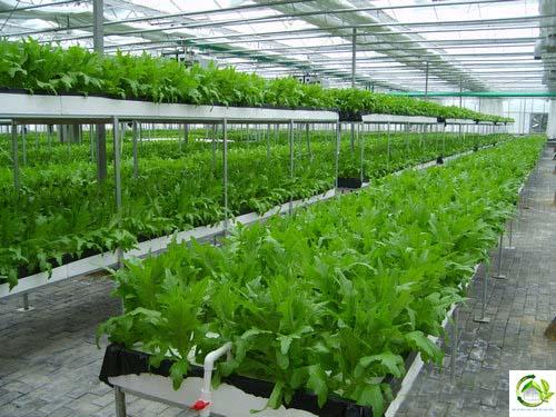 Hiệu quả mô hình trồng rau ứng dụng công nghệ cao tại miền Trung (27/3/2019)