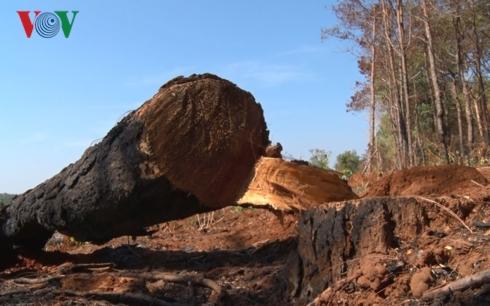 Gia Lai: Nhức nhối nạn phá rừng chiếm đất vùng ven thành phố Pleiku (29/3/2019)