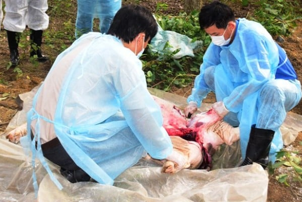Dịch tả lợn châu Phi lan đến tỉnh Thừa Thiên Huế, nâng tổng số địa phương có dịch lên con số 19 (Thời sự sáng 19/3/2019)