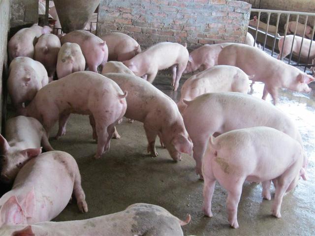 Nhiều địa phương công bố hết dịch tả lợn châu Phi (Thời sự trưa 8/4/2019)