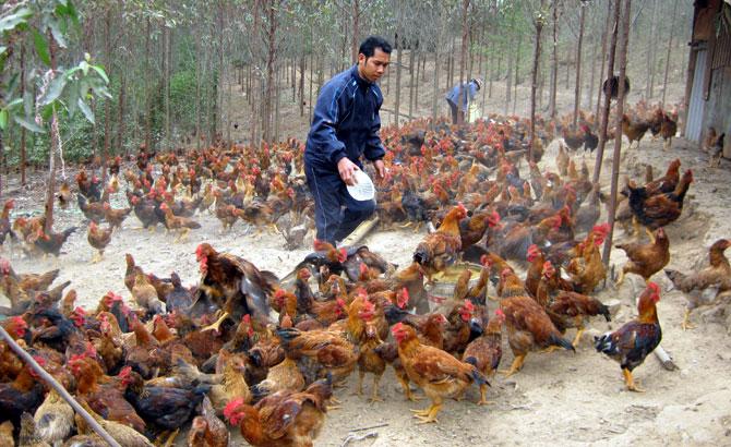Giải pháp phát triển chăn nuôi gia cầm bền vững (18/4/2019)