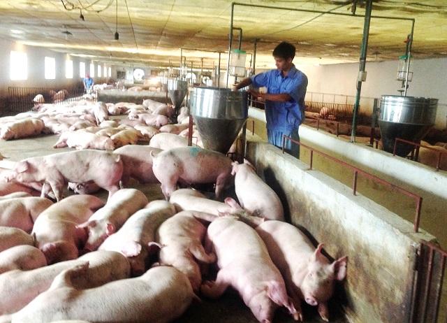 Cuộc khủng hoảng của những người chăn nuôi lợn vì dịch tả lợn châu Phi (5/4/2019)