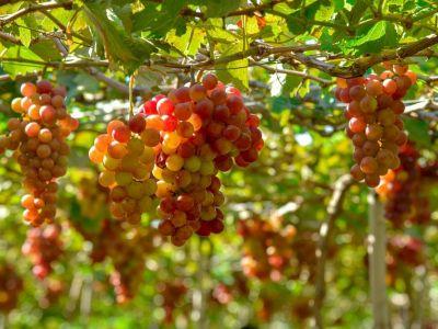 Lễ hội nho và rượu vang Ninh Thuận - Cơ hội thu hút đầu tư vào địa phương (26/4/2019)