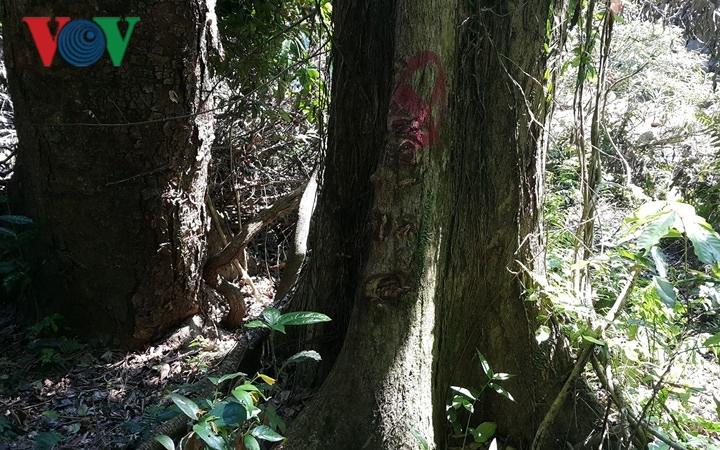 """Những bất thường """"báu vật"""" cuối cùng của rừng già Tây Nguyên bị tàn sát (28/4/2019)"""