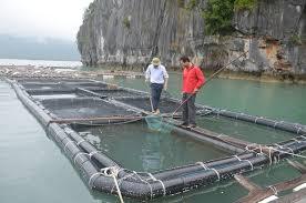 Ứng dụng mô hình công nghệ tiên tiến trong nuôi cá lồng bè trên biển (8/5/2019)