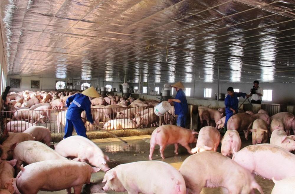 Đại dịch tả lợn châu Phi: - Đâu là giải pháp cho ngành chăn nuôi Việt Nam? (27/5/2019)