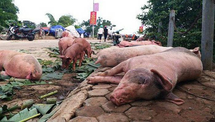 Dịch tả lợn tiếp tục lây lan nhanh và trách nhiệm của chính quyền địa phương trong xử lý vùng dịch (28/5/2019)