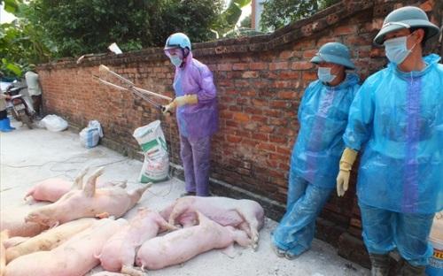 THỜI SỰ 21H30 ĐÊM 29/5/2019: Các địa phương đang gặp khó khăn trong việc phòng chống dịch tả lợn châu Phi.