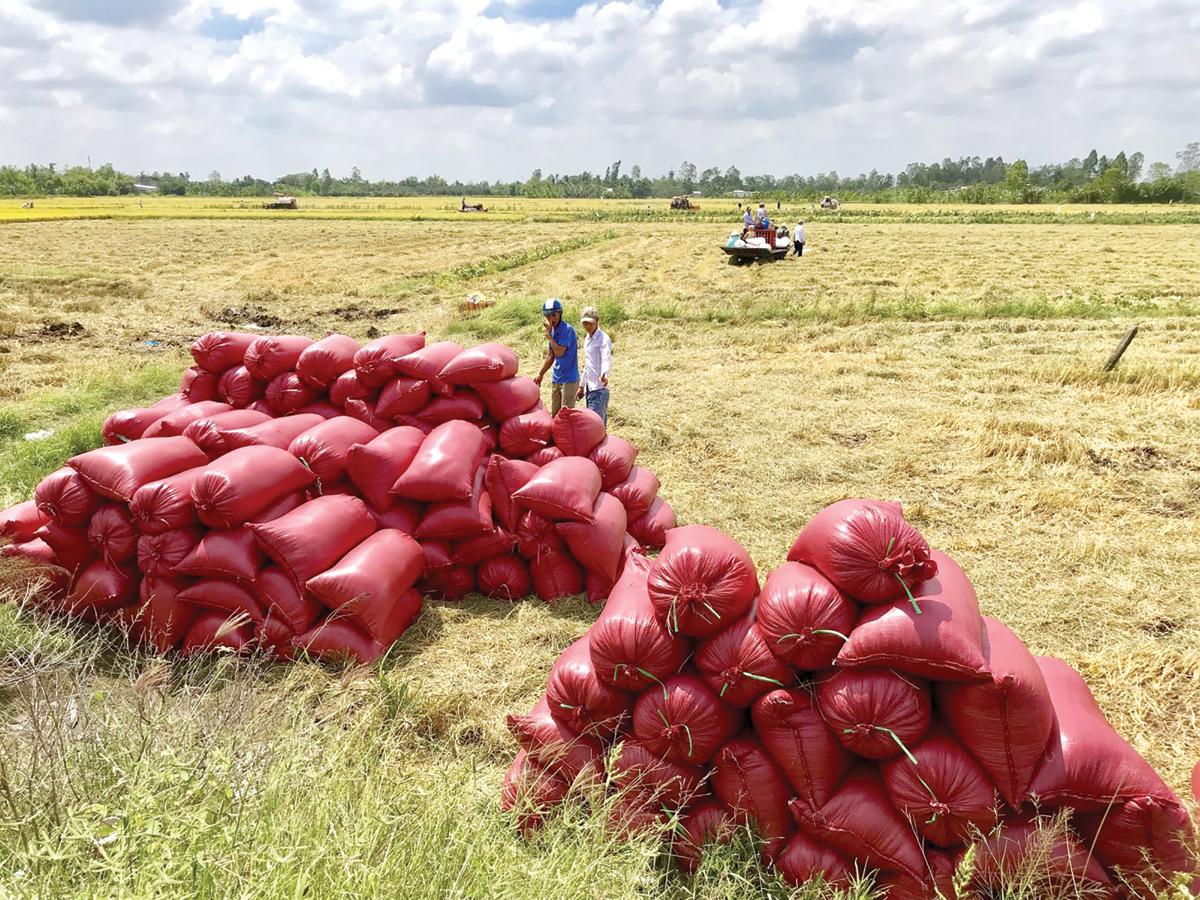 Lúa gạo chất lượng cao - hướng đi tất yếu trong hội nhập (7/5/2019)