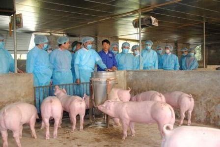 Giải pháp ngăn ngừa dịch tả lợn Châu Phi (17/5/2019)