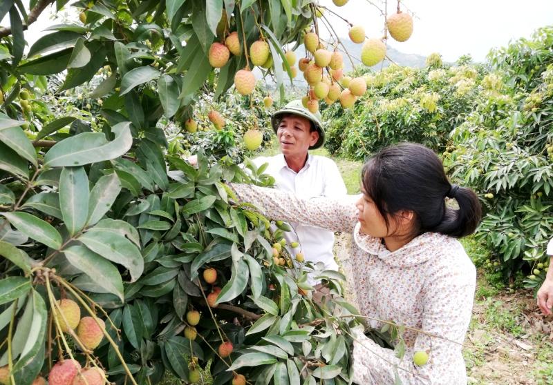 Lục Ngạn, vùng trọng điểm trồng vải lớn nhất Miền Bắc (24/5/2019)