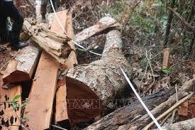 THỜI SỰ 21H30 ĐÊM 15/6/2019: Bắc Kạn xử lý nghiêm vụ chặt hạ 41 cây nghiến trong rừng phòng hộ.