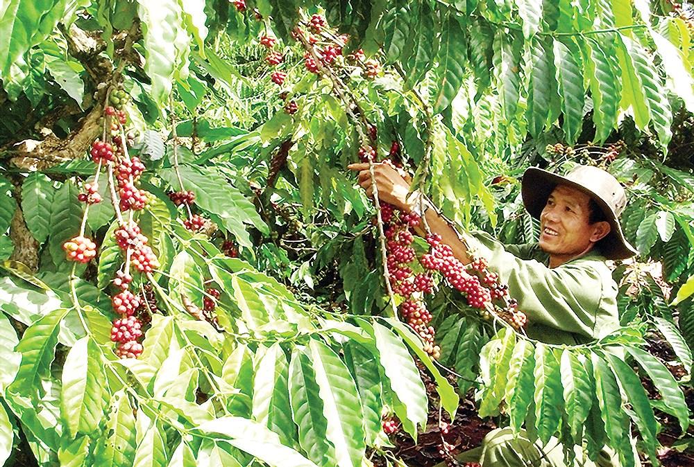 Tái canh đúng cách để ngành cà phê phát triển bền vững (6/6/2019)