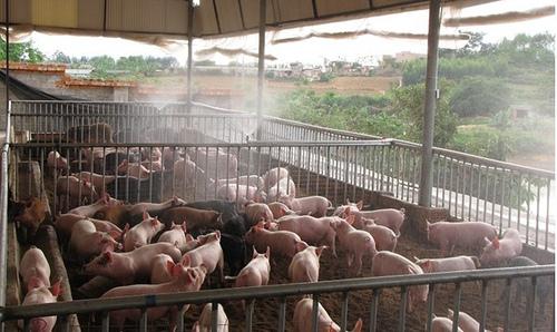 THỜI SỰ 21H30 ĐÊM NGÀY 9/6/2019: Dịch tả lợn Châu Phi vẫn tiếp tục lan rộng, người chăn nuôi không nên thấy giá tăng mà vội ồ ạt tái đàn.