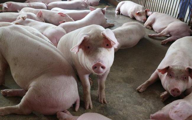 Giá thịt lợn hơi tăng mạnh, sau thời gian giảm sâu vì dịch tả lợn Châu Phi (10/6/2019)