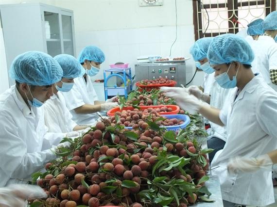 Việt Nam nằm trong tốp những nước xuất khẩu quả vải lớn nhất thế giới (14/6/2019)