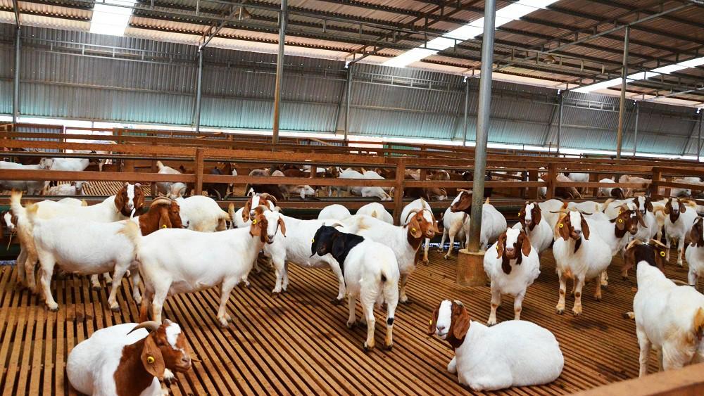 Những giải pháp trong chăn nuôi thích ứng với biến đổi khí hậu (17/7/2019)