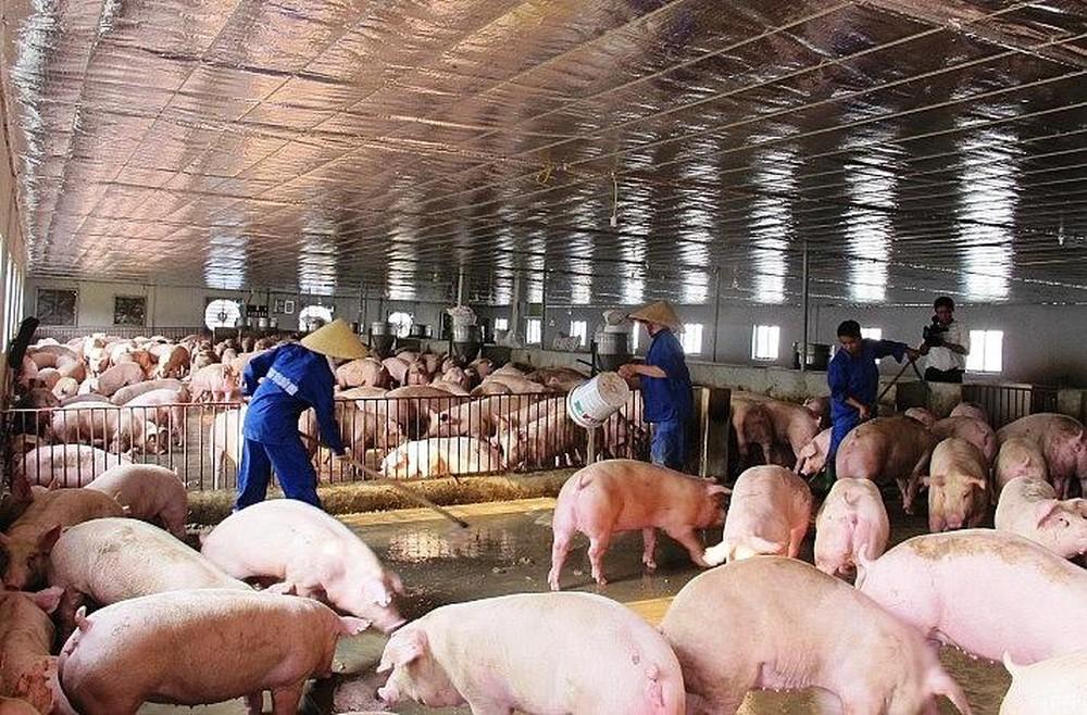 Loạt bài: Dịch tả lợn Châu Phi: Người dân thiệt đơn, Nhà nước thiệt kép. Bài 1: