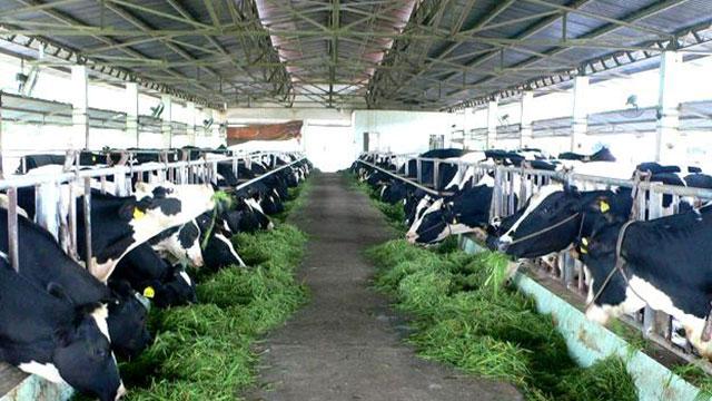 Phát triển bền vững mô hình chăn nuôi bò sữa nông hộ (9/7/2019)