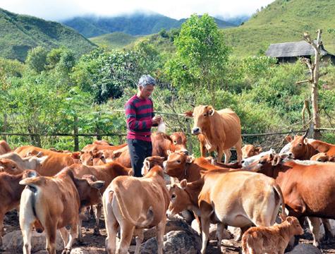 Giải pháp phát triển chăn nuôi đại gia súc các tỉnh miền núi phía Bắc (13/8/2019)
