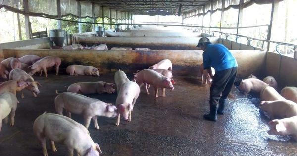 Đồng bằng sông Cửu Long: cần quyết liệt Phòng chống dịch tả lợn Châu Phi (26/8/2019)
