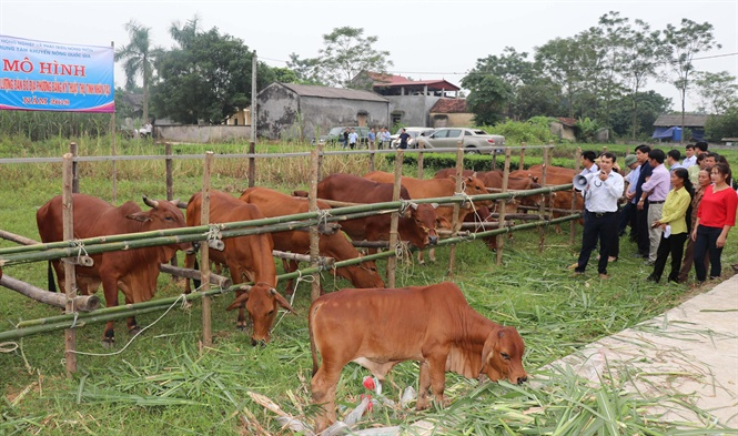 Kinh nghiệm nâng cao chất lượng đàn bò thịt (6/9/2019)