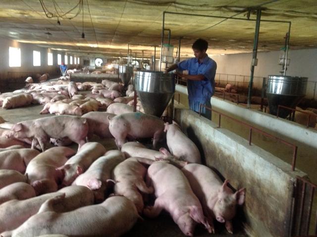 Cần cẩn trọng khi tái đàn lợn (11/9/2019)
