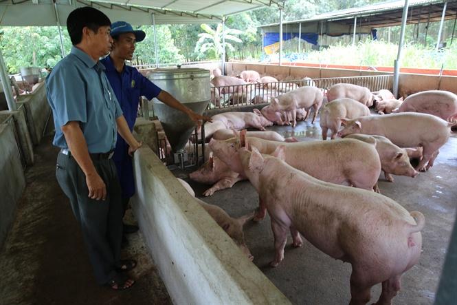 Chăn nuôi lợn: Tái đàn hiệu quả bằng giải pháp an toàn sinh học (9/1/2020)