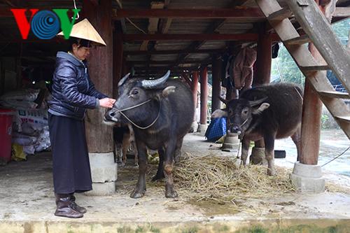 Chăm sóc gia súc ngày giá rét (2/1/2020)