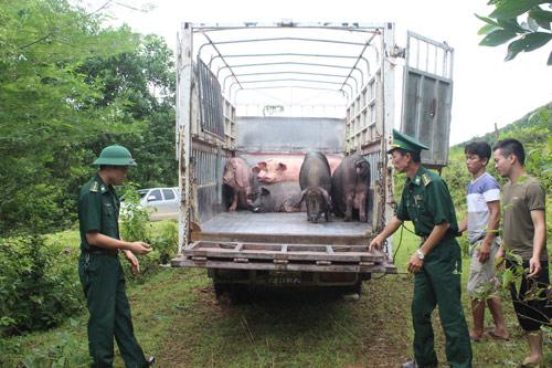 Quảng Ninh: Ngăn chặn xuất khẩu lợn trái phép (7/1/2020)