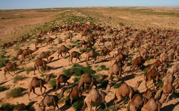 Phải giết 10.000 con lạc đà vì thiếu nước: Quyết định khó khăn của Australia (9/1/2020)