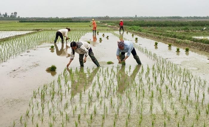 Bà con nông dân tưng bừng xuống đồng cấy lúa chiêm xuân (31/1/2020)