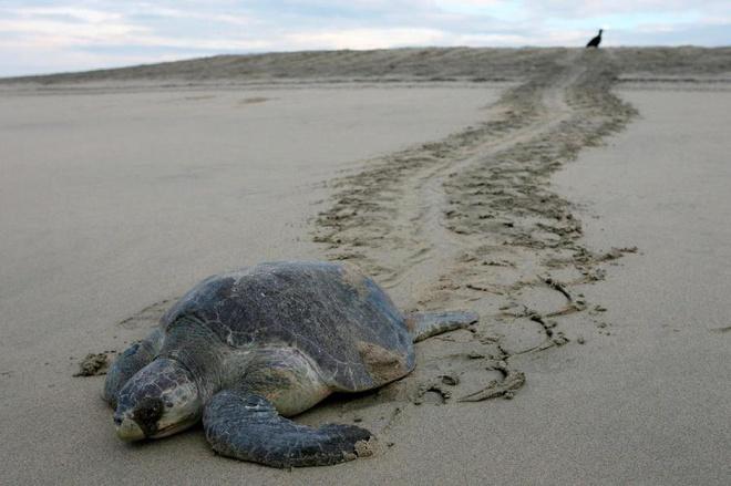 Mexico nỗ lực cứu rùa biển xanh trước nạn thủy triều đỏ (13/1/2020)