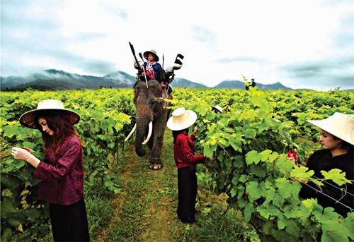 Người phụ nữ đầu tiên sản xuất rượu vang tại Thái Lan (14/1/2020)